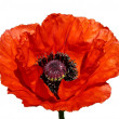 Red poppy blossom - Stock Photo