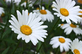 Blossoming white camomiles — Stock Photo