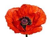 Red poppy blossom — Stock Photo