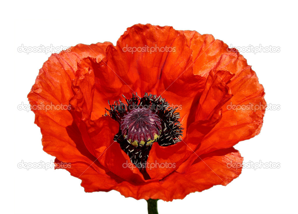 Flower of a red poppy on a white background  Stock Photo #1306241