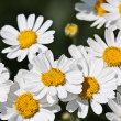 Blossoming white camomiles — Stock Photo #1335713