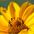 Stock Photo: yellow gerbera daisy