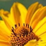 Yellow Gerbera Daisy — Stock Photo