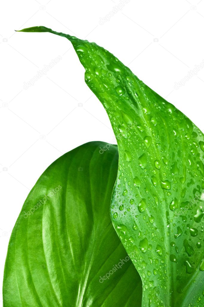 Green leafs of a spathiphyllum with water droplets on a white background — Stock Photo #1335747