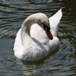 Swan in lake — Stock Photo
