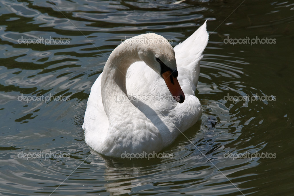 Royal graceful beautiful white swan on lake — Stock Photo #1448166