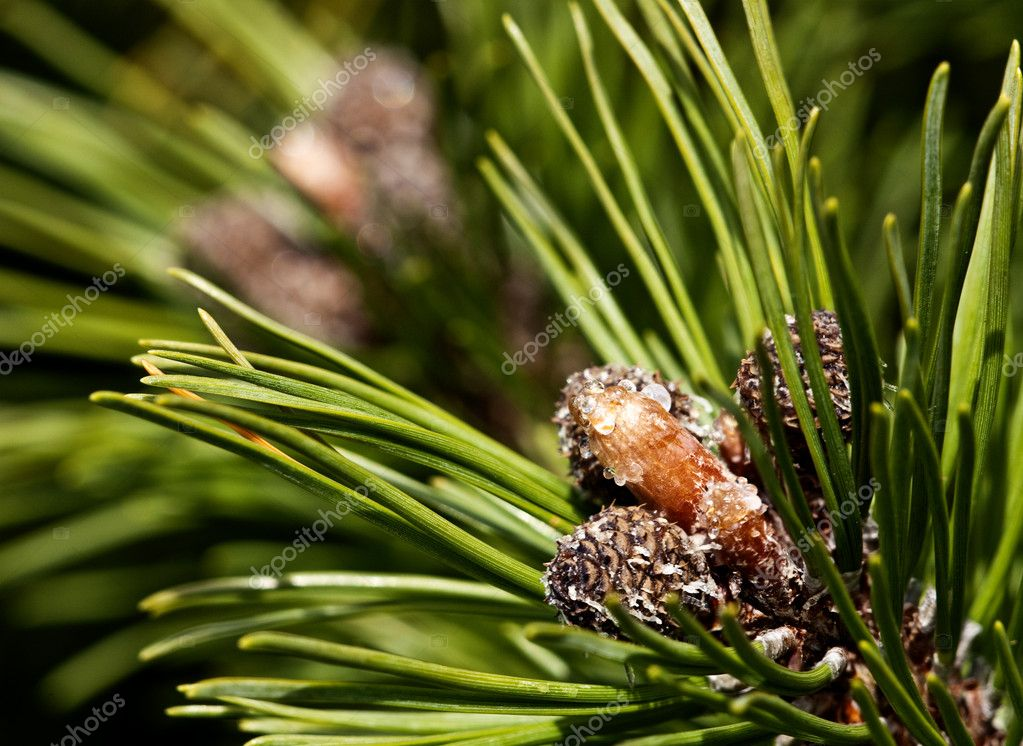 Young pine cones — Stock Photo #1448221