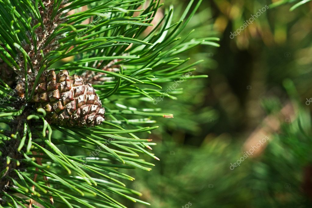 Young pine cones — Stock Photo #1448224