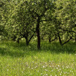 Fruit orchard — Stockfoto