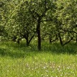 Fruit orchard — Foto Stock