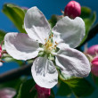 Apple-tree flower on blue sky — Stockfoto