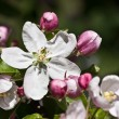 Apple-tree blossoms in early spring — Stockfoto