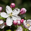 Apple-tree blossoms in early spring — Stock Photo