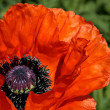 Red poppy — Stock Photo #2467561
