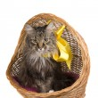 Cat in wicker basket. — Stock fotografie