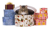 Cat in gift box — Stock fotografie