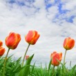 Stock Photo: Tulips rising up to the sun