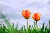 Two romantic tulips growing in the field — Stock Photo