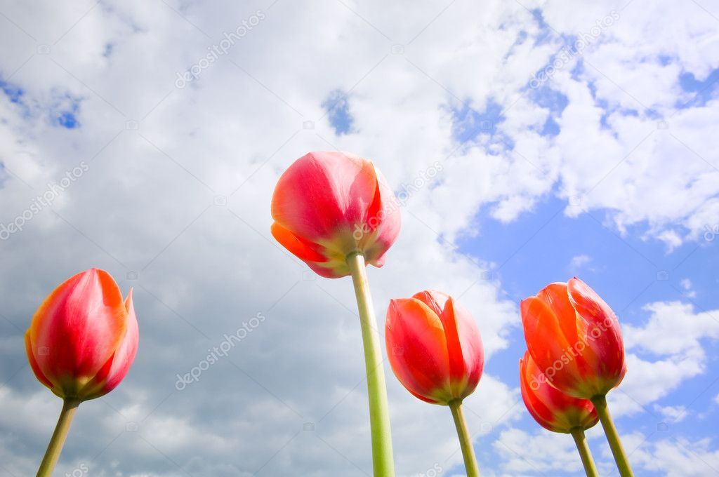 Romantic tulips growing up in the blue sky  — Stock Photo #1239525