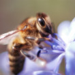 Extreme close-up of a bee — Stock Photo #1240512