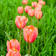 Постер, плакат: Row of beautiful red tulips in the field