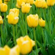 Beautiful yellow tulips — Stock Photo