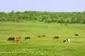 Green field with cows — Stock Photo