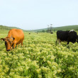 Two cows in a pasture — Stock Photo
