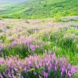 Beautiful landscape with violet flowers — Foto Stock