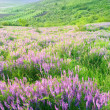 Beautiful landscape with violet flowers — ストック写真