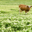 Funny brown cow in a pasture, focus on a — Stock Photo