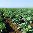 Green cabbage rows — Stock Photo