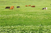 Green lawn with cows — Stock Photo