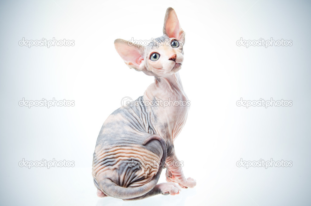 Funny sphinx cat looking up, isolated in studio — Stock Photo #1251921