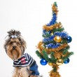 Cute Yorkshire terrier near Christmas tree - Stock Photo
