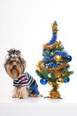 Cute yorkshire terrier perto de árvore de Natal — Fotografia Stock