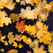Maple leaves — Stock Photo #1159323