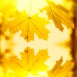 Maple leaves — Stock Photo #1194836