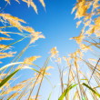 High grass on blue sky background — Stock Photo