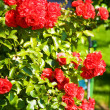 Bush of red roses - Stockfoto