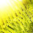 Fern closeup — Foto Stock