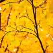 Autumn maple leaves on a branch — Stock Photo