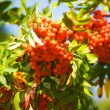 Red ashberry on a branch - Stock Photo