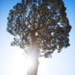 Big tree on sun and blue sky background — Stock Photo