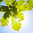 Oak leaves — Stock Photo #1348426
