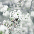 White cherry tree flowers — Stock Photo