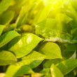 Green leaves and bright sun — Foto Stock