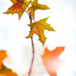 Maple leaves — Stock Photo #1369085