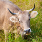 Swiss cow — Stock fotografie
