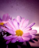 Wet violet flower — Stock Photo